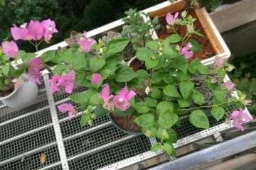 三角梅盆栽扦插第六天了 怎么样 图片