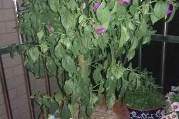 为什么三角梅盆栽叶子下垂 没浇水吗