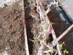 三角梅下山桩怎么上盆用土的方法 图片