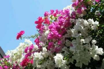 山东三角梅盆栽用什么盆养好呢 图片