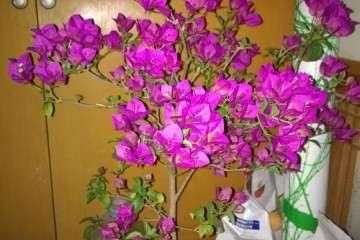 三角梅盆栽开花期间 怎么浇水 图片