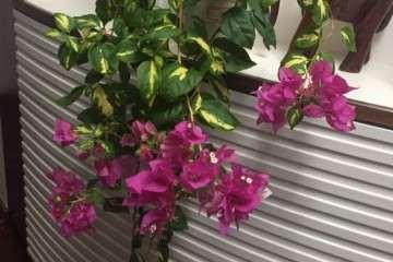 我的垂吊式三角梅盆栽 怎么样 图片