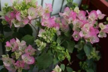 三角梅盆栽多太阳 施磷钾 少浇水