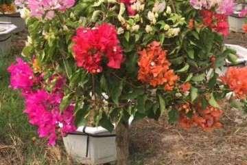自家的三角梅盆栽批发 250元 图片