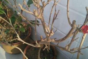 为什么三角梅盆栽不长叶子 也不发芽
