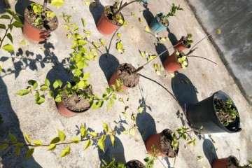 三角梅盆栽叶子全掉光了 怎么办 图片