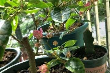 三角梅盆栽掉花苞 怎么办 图片
