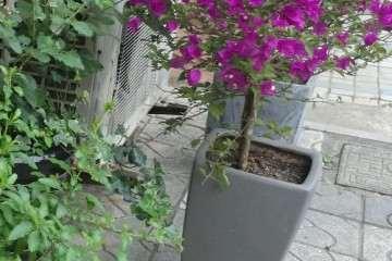 三角梅盆栽叶子和花有点蔫 怎么办 图片