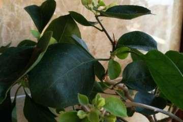 为什么三角梅盆栽花朵是绿色的 图片