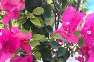 请教三角梅盆栽丽娜勤花吗 图片