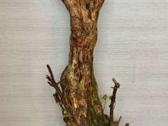 塔紫三角梅下山桩的栽培过程 图片