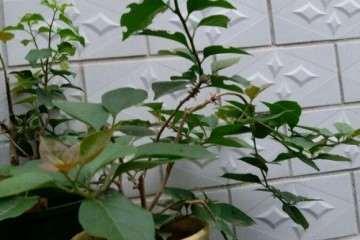 三角梅盆栽怎么修剪 嫩枝打顶 图片