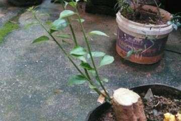 三角梅盆栽的花苞是什么样子的