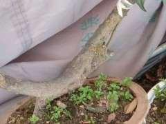 三角梅下山桩有花芽 还没有开 怎么办
