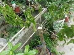 移栽的三角梅下山桩 怎么样 能活吗 图片