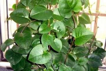 海南三七盆栽怎么上盆种植的方法 图片