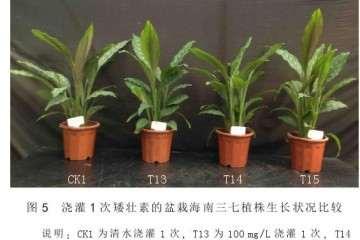 矮壮素对盆栽海南三七的矮化效果 图片
