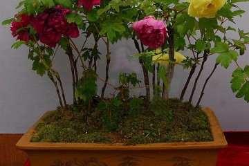 盆栽牡丹的春节促成栽培技术研究