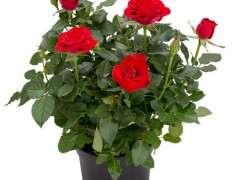 盆栽迷你玫瑰平均批发价格5.5元/盆