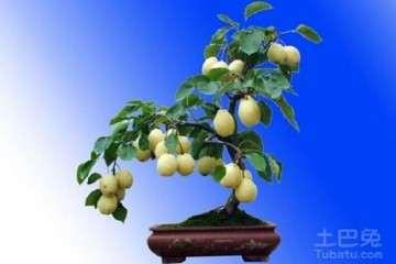 摩西球囊霉对梨树盆栽的影响有哪些