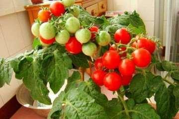 不同品种矮生盆栽番茄结果期植株性状比较