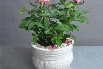 月季盆栽的栽培基质怎么试验设计