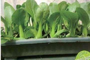 土壤改良剂对油菜盆栽的产量影响