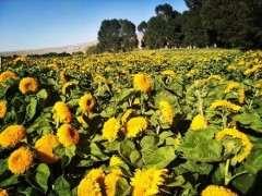 土壤水分下限过低会影响油葵盆栽的株高