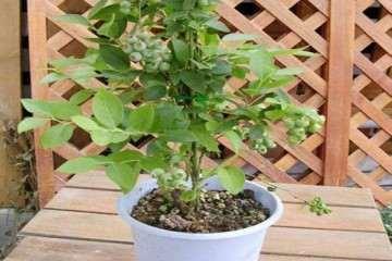 蓝莓盆栽的植株生长性状与产量测定