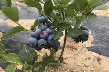 不同配比的复合基质对蓝莓盆栽光合的比较