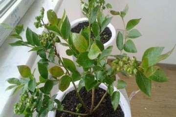 为什么蓝莓盆栽对土壤酸碱度的要求很严格