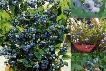灌溉水酸化处理对盆栽蓝莓生长的影响