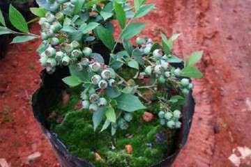 不同配方栽培基质对盆栽蓝莓生长的影响