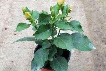 不同温度对桑叶盆栽枯病发病率的影响