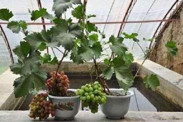 不同葡萄盆栽基质对植株生长的影响