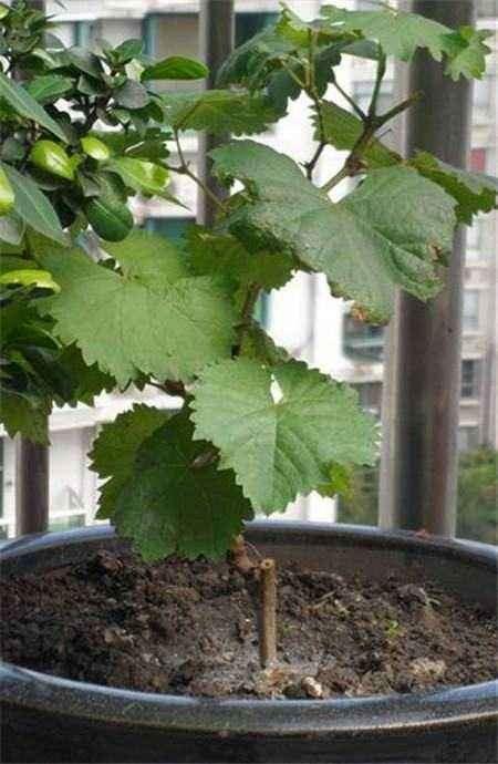 葡萄盆栽怎么试验的材料与方法 图片