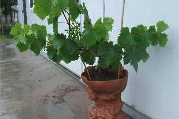 盆栽葡萄生长指标怎么测定定植