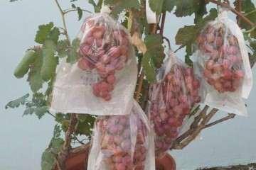 不同基质对盆栽葡萄生长指标的影响