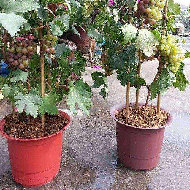 不同基质的葡萄盆栽营养元素分析