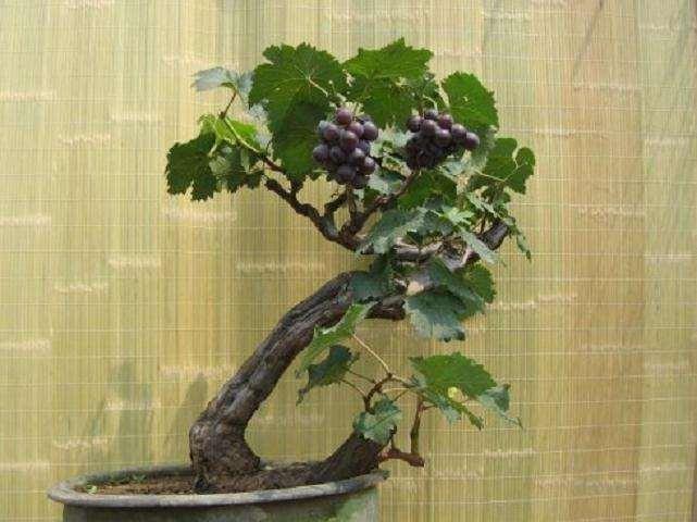 不同基质成分对葡萄盆栽基质的影响