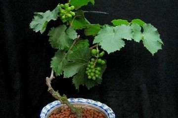 不同基质配比对盆栽葡萄生长的影响
