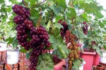 不同基质配比对盆栽葡萄生长量的影响
