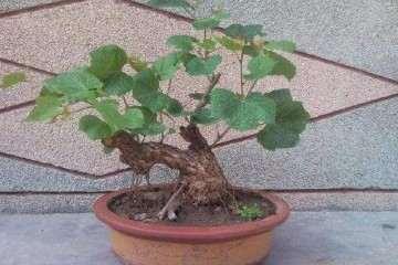 不同基质配比对盆栽葡萄根系生长的影晌