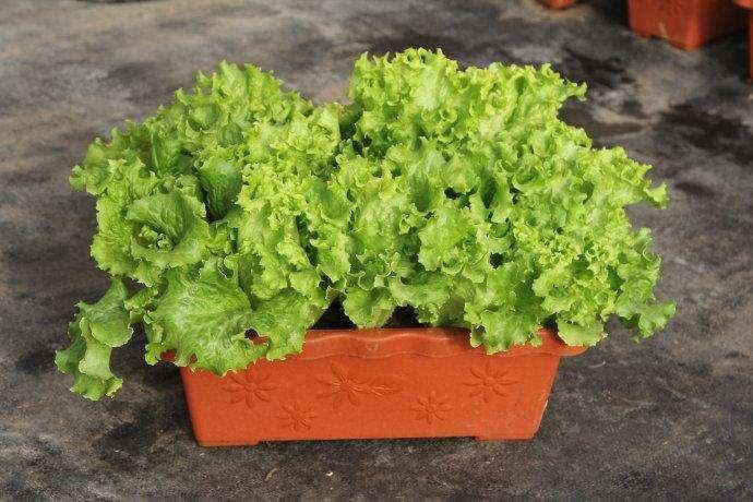 不同有机肥在盆栽蔬菜上的效果比较