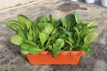 不同有机肥对不同叶菜盆栽生长的影响