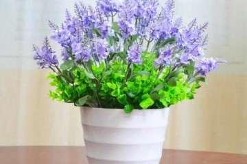 薰衣草盆栽在国外种植有哪些分布 图片