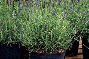 不同基质对狭叶薰衣草盆栽上部分干鲜重的影响