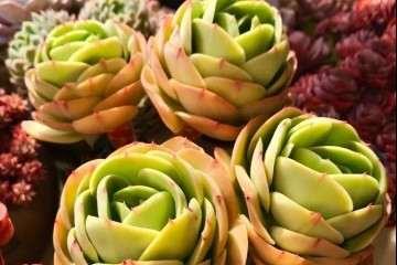 室内养多肉植物怎么控水的方法 图片