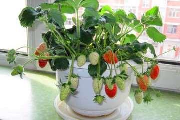 草莓盆栽基质怎么配方筛选试验的简报