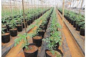 大番茄盆栽怎么肥水管理的方法 图片